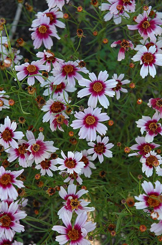 Sweet Dreams Tickseed Coreopsis Rosea Sweet Dreams In