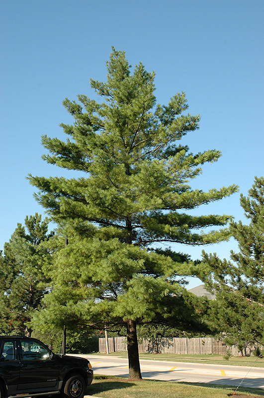 Tall City Delivery >> White Pine (Pinus strobus) in Columbus Dublin Delaware ...