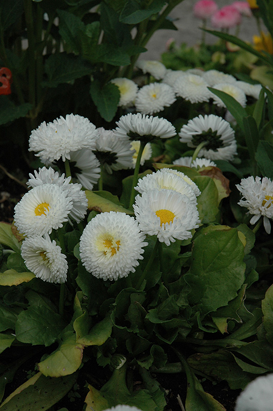 Bellisima White English Daisy Bellis Perennis Bellissima White In Columbus Dublin Delaware Grove City Gahanna Bexley Ohio Oh At Oakland Nurseries Inc