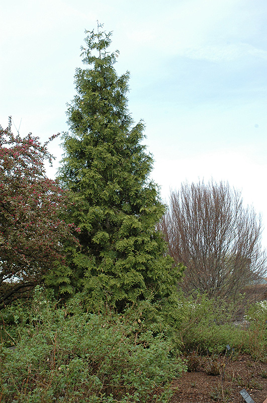 Tall City Delivery >> Western Arborvitae (Thuja plicata) in Columbus Dublin ...
