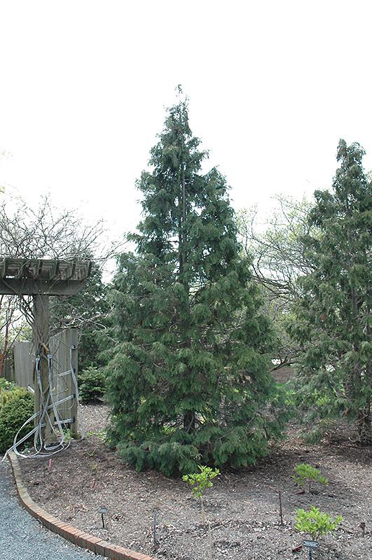 Sullivan Nootka Cypress Chamaecyparis Nootkatensis