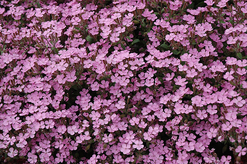 Home Fires Woodland Phlox Phlox Stolonifera Home Fires In