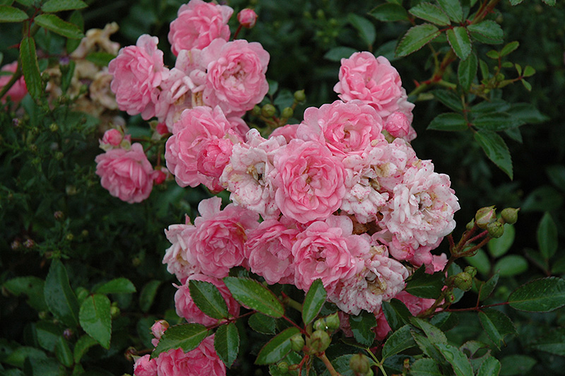 Roses In Garden: The Fairy Rose (Rosa 'The Fairy') In Columbus Dublin
