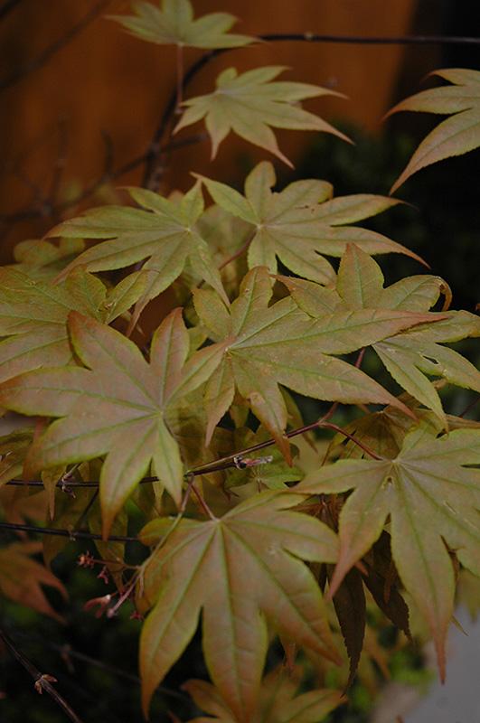 Purple Leaf Japanese Maple Acer Palmatum Atropurpureum In