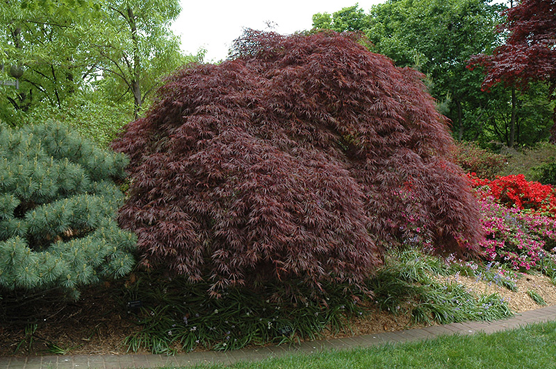 Red Select Cutleaf Japanese Maple Acer Palmatum Dissectum Red