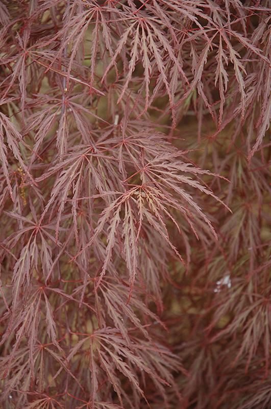 Purple Leaf Threadleaf Japanese Maple Acer Palmatum Dissectum
