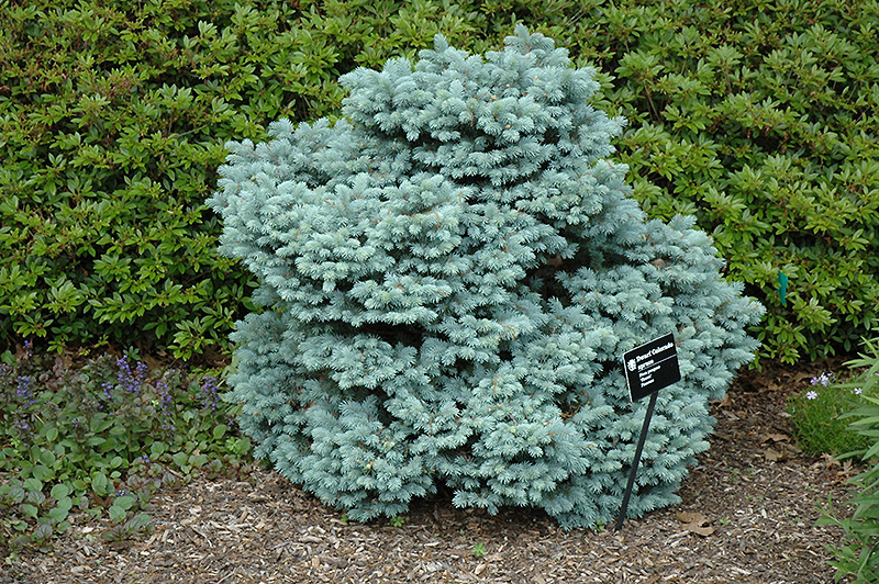 Thume Blue Spruce Picea Pungens Thume In Columbus