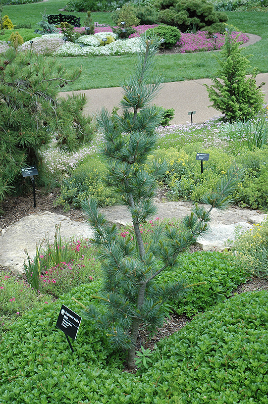 Blue Wave Japanese White Pine Pinus Parviflora Blue Wave