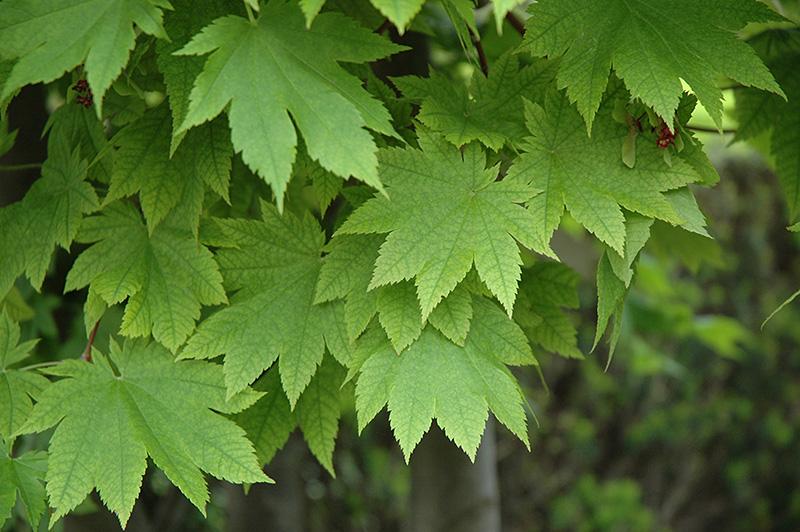 Vitifolium Fullmoon Maple Acer Japonicum Vitifolium In Columbus