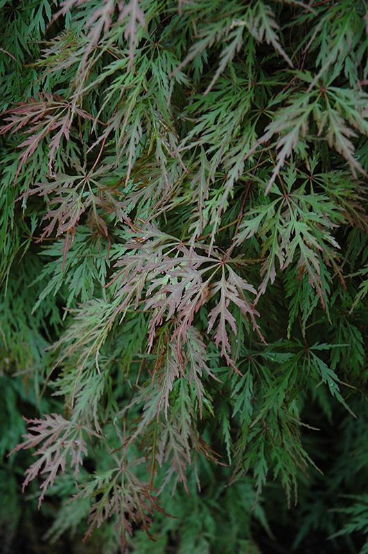 Orangeola Cutleaf Japanese Maple Acer Palmatum Orangeola In