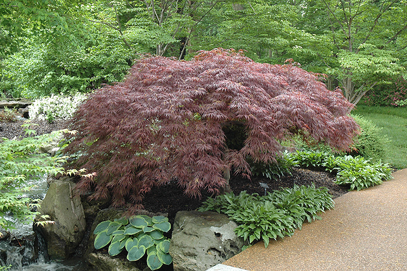 Red Select Japanese Maple Acer Palmatum Red Select In Columbus