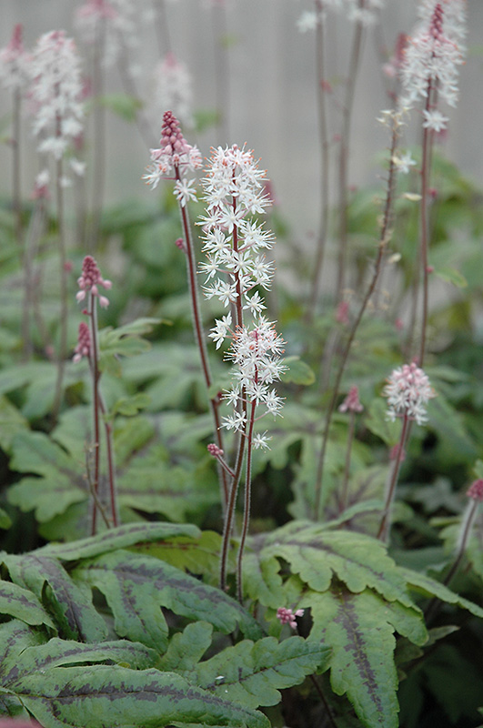 Candy Striper Foamflower Tiarella Candy Striper In