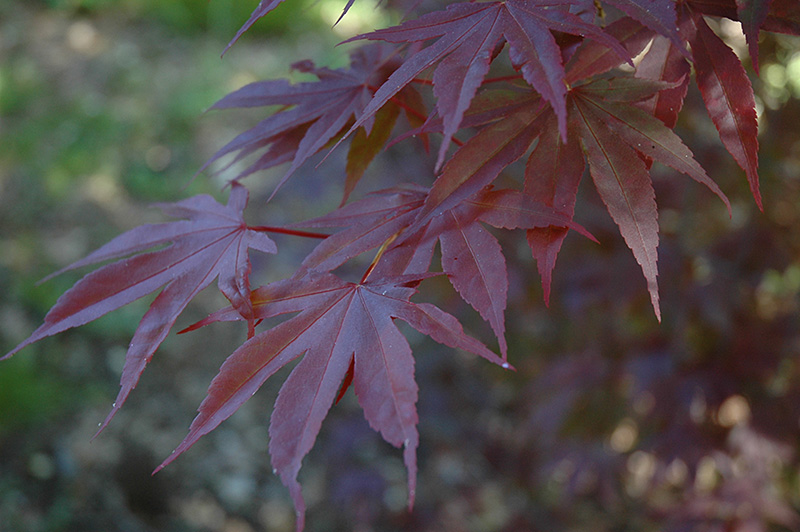 Moonfire Japanese Maple Acer Palmatum Moonfire In Columbus