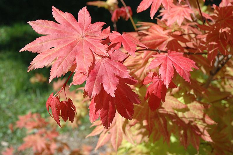 Autumn Moon Full Moon Maple Acer Shirasawanum Autumn Moon In