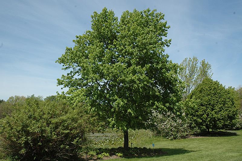 Commemoration Sugar Maple Acer Saccharum Commemoration In