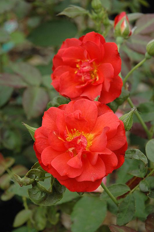 Cinco De Mayo Rose Rosa Cinco De Mayo In Columbus
