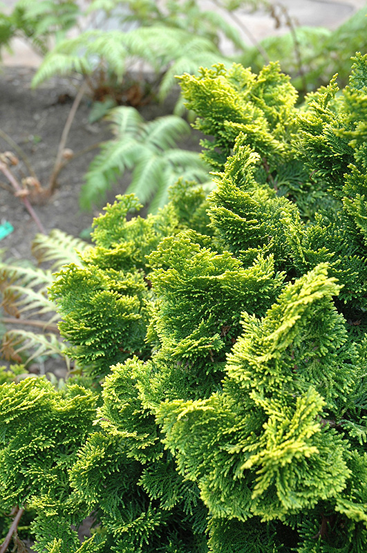 Dwarf Golden Hinoki Falsecypress Chamaecyparis Obtusa