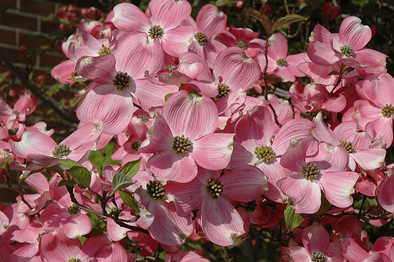 Cherokee Brave Flowering Dogwood Cornus Florida Cherokee