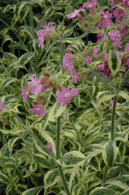 Clifford Moor Variegated Catchfly Silene Dioica Clifford