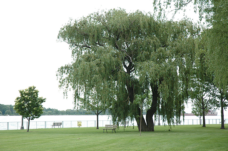 Niobe Golden Weeping Willow Salix Alba Niobe In