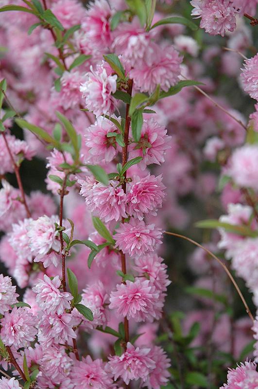 Double Pink Flowering Almond Prunus Glandulosa Rosea