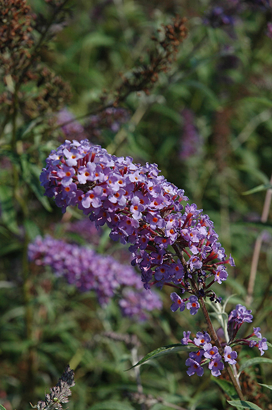 Nanho Blue Butterfly Bush Buddleia Davidii Nanho Blue