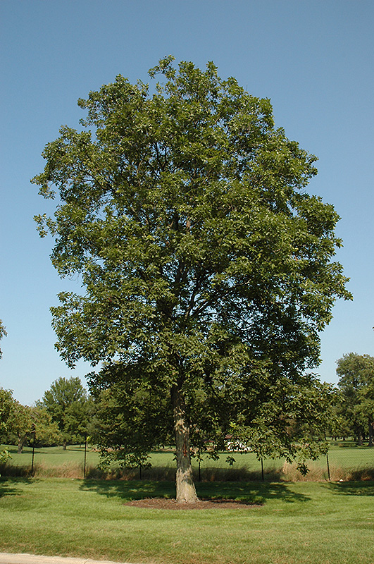 Tall City Delivery >> Shagbark Hickory (Carya ovata) in Columbus Dublin Delaware ...