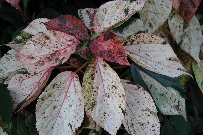 Jacob S Coat Acalypha Wilkesiana In Columbus Dublin
