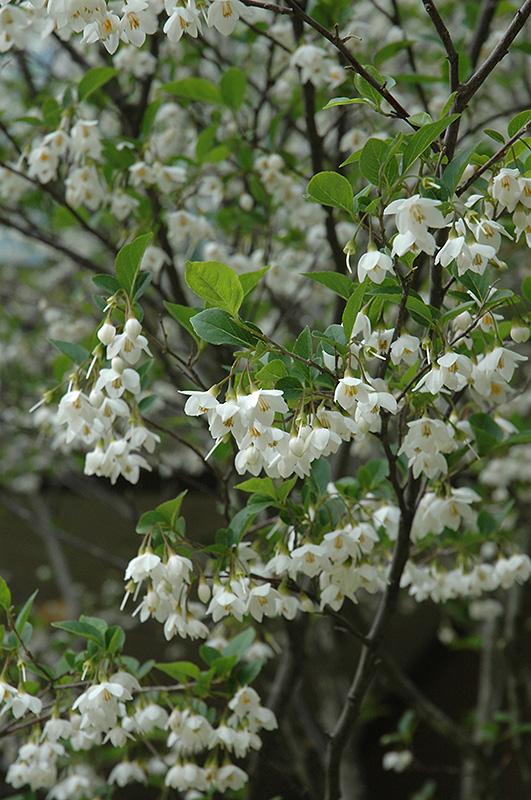 Japanese Snowbell Styrax Japonicus In Columbus Dublin Delaware