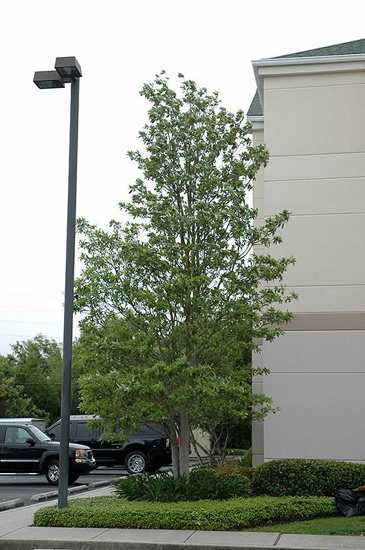 Sweetbay Magnolia Magnolia Virginiana In Columbus Dublin Delaware