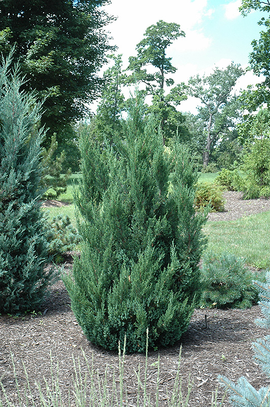 Blue Point Juniper (Juniperus chinensis 'Blue Point') in Columbus