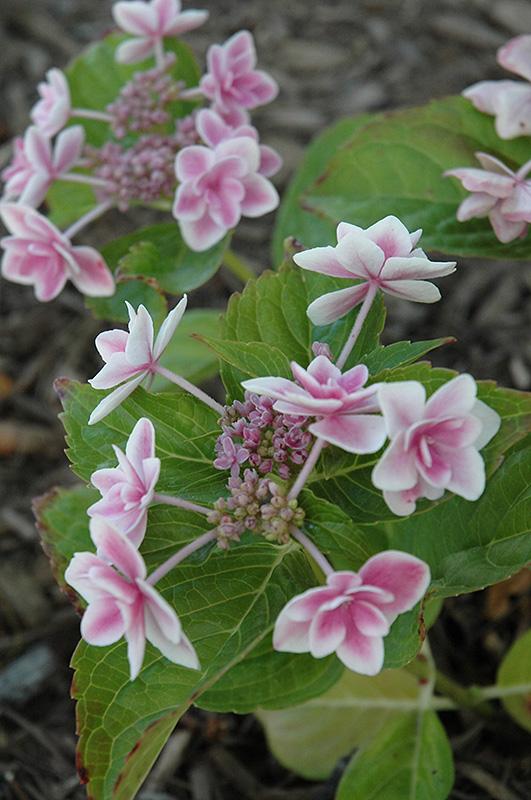 Star Gazer Hydrangea Hydrangea Macrophylla Kompeito In