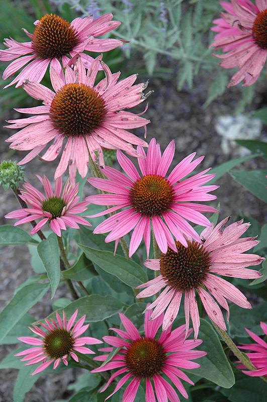 Mystical Pink Mist Coneflower Echinacea