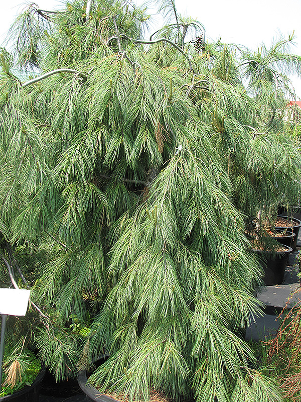 Weeping White Pine Pinus Strobus Pendula In Columbus