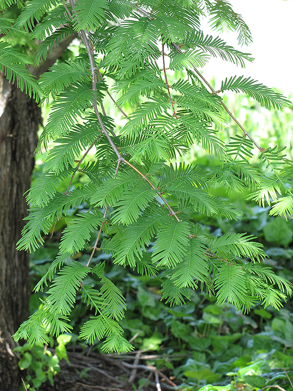 Dawn Redwood Metasequoia Glyptostroboides In Columbus