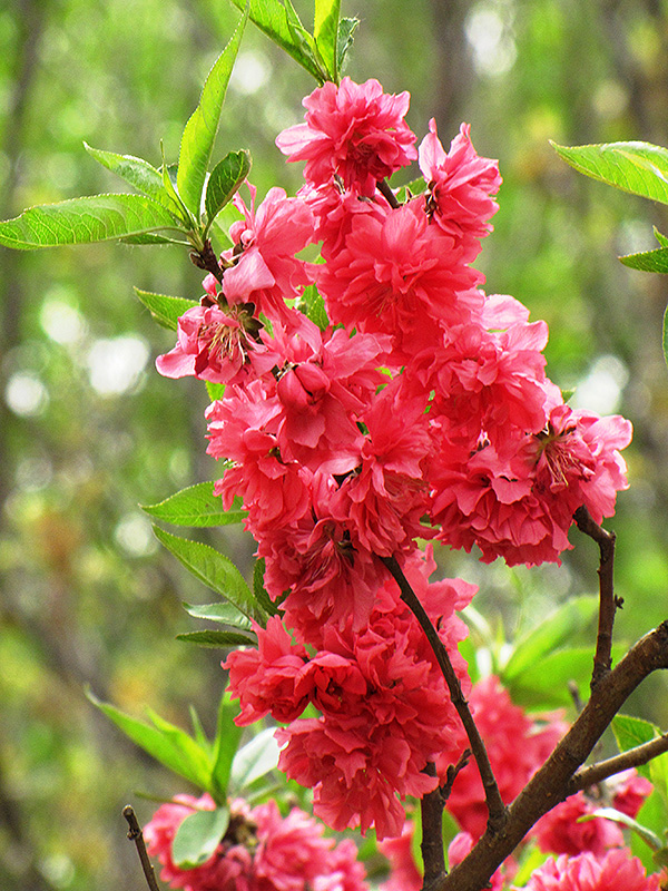 Double Red Flowering Peach Prunus Persica Double Red