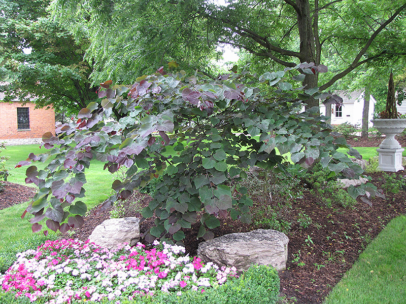 Forest Pansy Redbud Cercis Canadensis Forest Pansy In Columbus