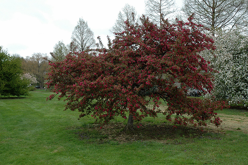 Indian Magic Flowering Crab Malus Indian Magic In