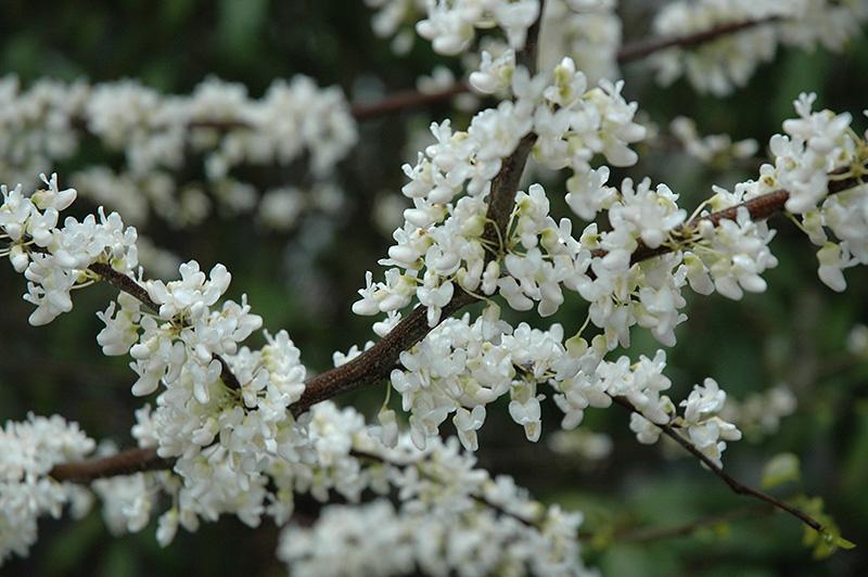 Chalet Nursery And Garden Center: White Redbud (Cercis Canadensis 'Alba') In Columbus Dublin