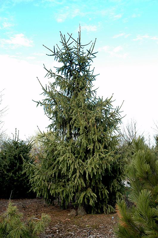 Elegantissima Norway Spruce Picea Abies Elegantissima