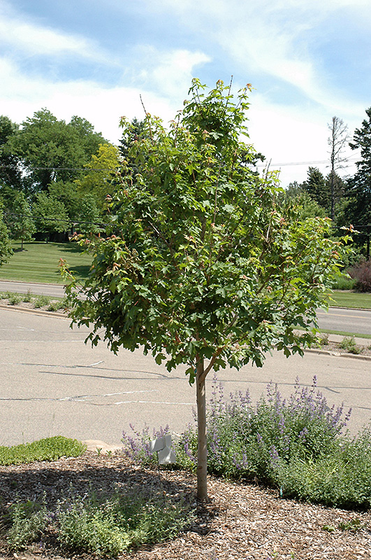Jade Patina Hedge Maple Acer Campestre Ballee In