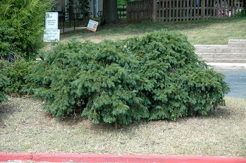 Spreading English Yew Taxus Baccata Spreading In Columbus