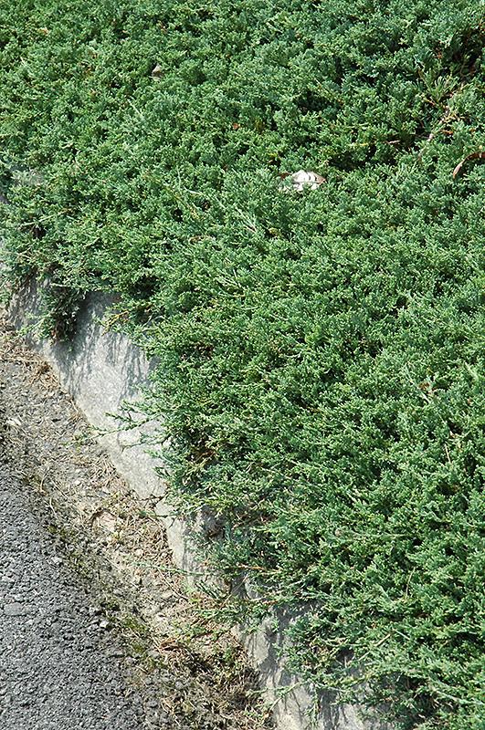 Blue Rug Juniper Juniperus Horizontalis Wiltonii In