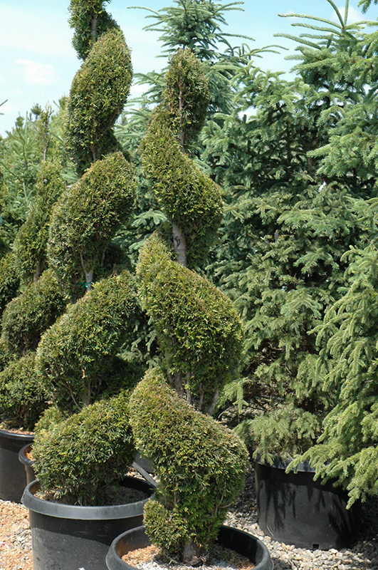 Emerald Green Arborvitae Spiral Thuja Occidentalis Smaragd