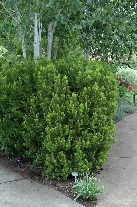 how to plant a yew hedge