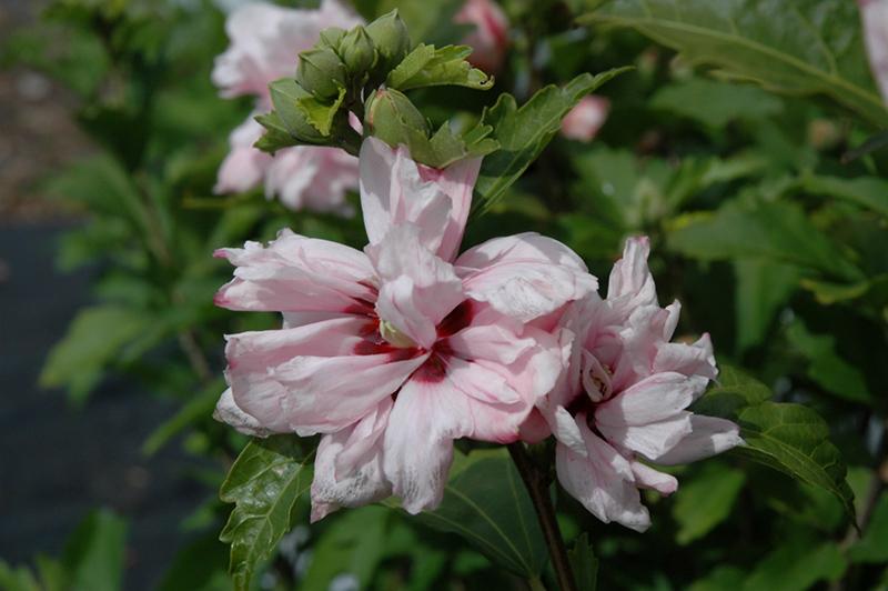 Blushing Bride Rose Of Sharon Hibiscus Syriacus Blushing