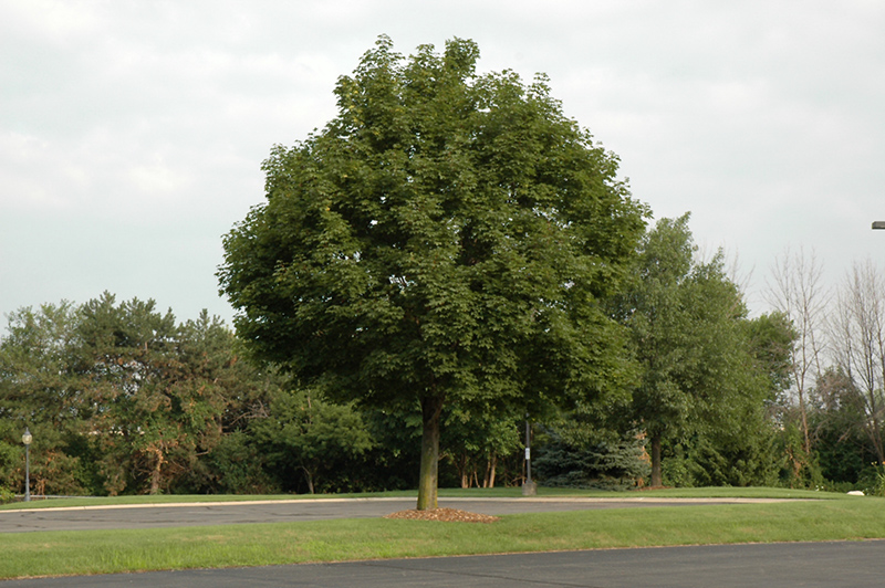 Superform Norway Maple Acer Platanoides Superform In