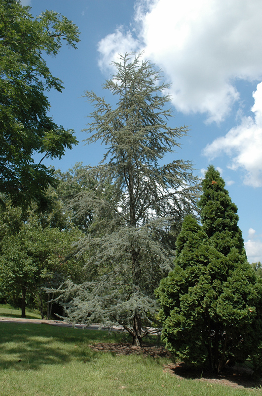 Blue Atlas Cedar Cedrus Atlantica Glauca In Columbus