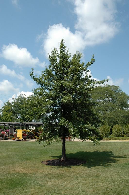 Shingle Oak Quercus Imbricaria In Columbus Dublin