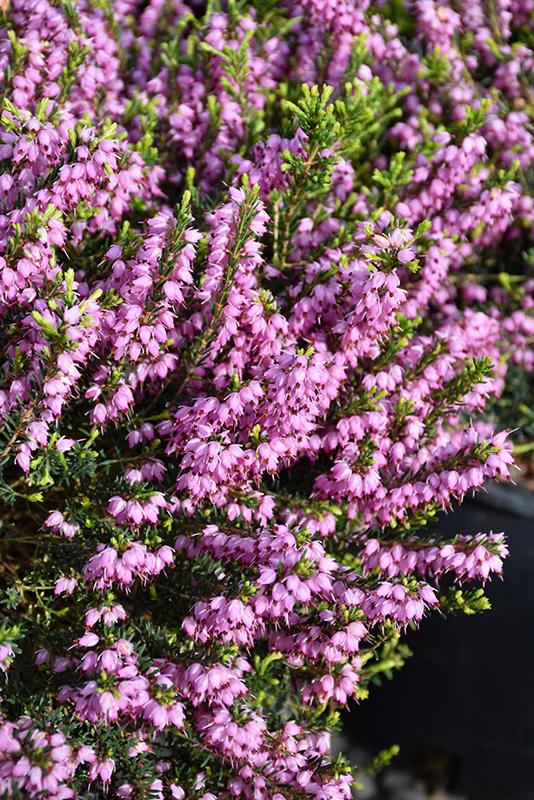 Mediterranean Pink Heath Erica X Darleyensis Mediterranean Pink